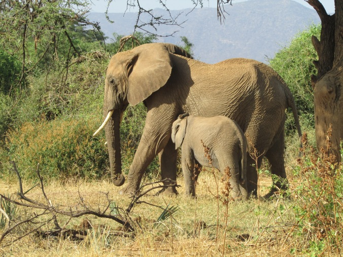 elefantes_africanos_samburu_hisiasafaris.com_